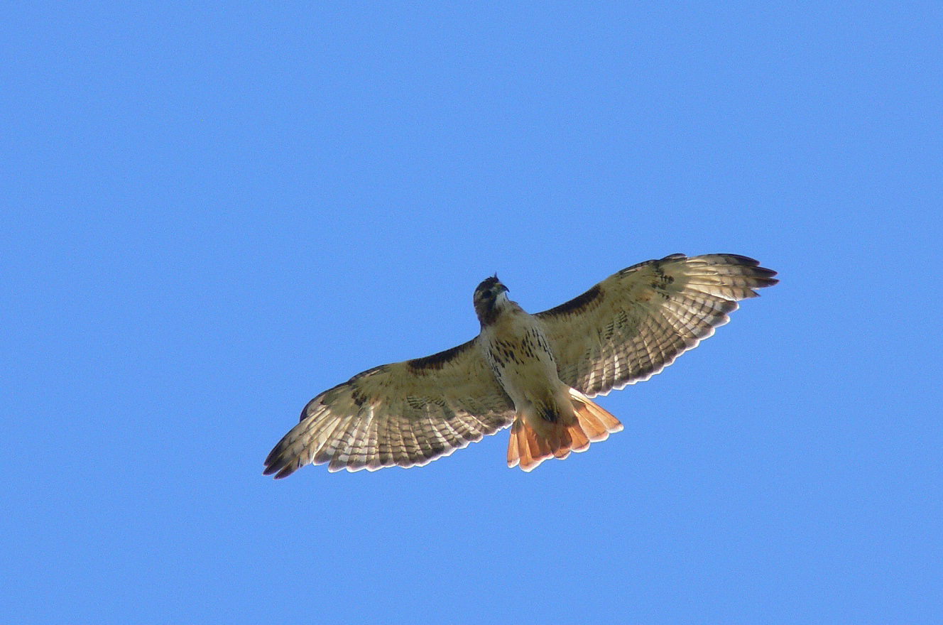 Brown Hill Hawk Watch Local Event Discover Central Massachusetts