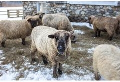 Hands On With Fiber Arts - Sheep Shearing & Wool Carding